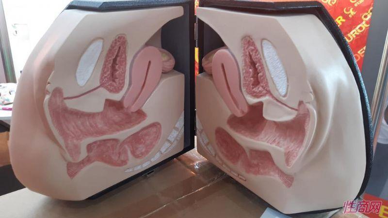 女性生理解剖模型用于说明情趣玩具使用方法